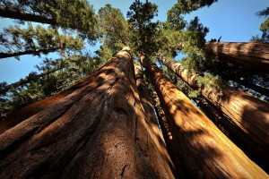 giant sequoias endangered by drought