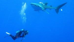 scuba diving whale sharks
